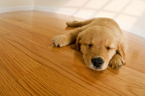Aardvark floor sanding services in Norwich and Norfolk > image of puppy on varnished and polished wooden floor